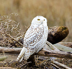 Choose Our Martha's Vineyard Rental Cars and Go Searching for Snowy Owls